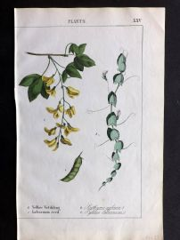 Yonge 1857 Hand Coloured Botanical Print. Yellow Vetchling, Laburnum Seed